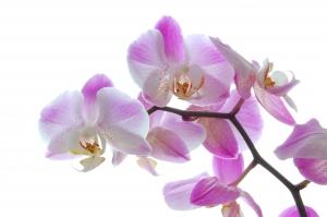 orchidea-ruzova